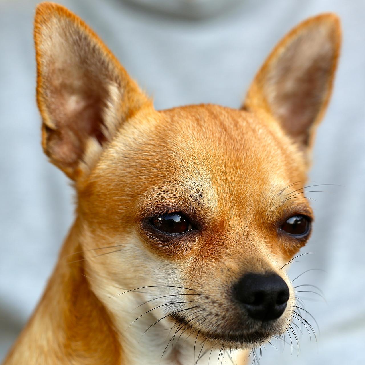 Razze-cani-Chihuahua